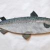 22. Flat Lg Salmon 1 388_0018FA.jpg
